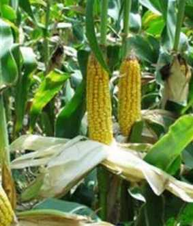 Compensate for corn crops affected by lack of monsoon rains!