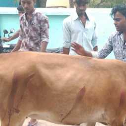 cow attacked by blade;police investigation