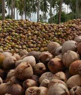 Coconut growers facing continuous decline ...