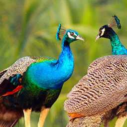 Thanjavur Peacocks issue - Indictment on Forest Service