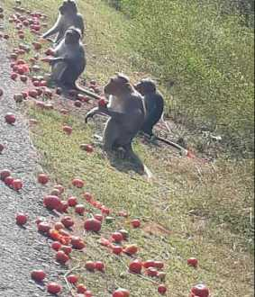 Tomatoes eating monkeys ... farmers in priceless agony!
