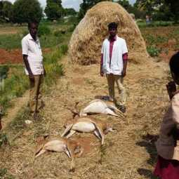 nellai district Hunting dogs bite pregnant deer