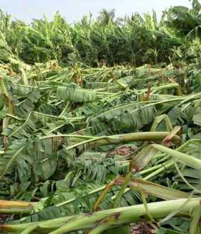 Banana Cultivation in erode