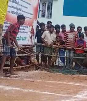 Pig catching competition like Jallikkattu in Theni!