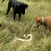 coimbatore incident - dogs killed a snake